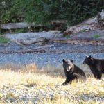 Bears of Port Hardy – A Bear-Seeking Adventure