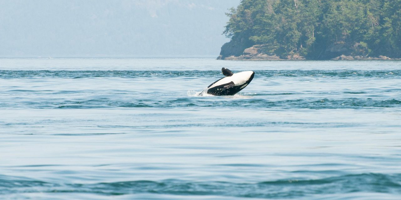 Orcas and Marine Life of the Salish Sea