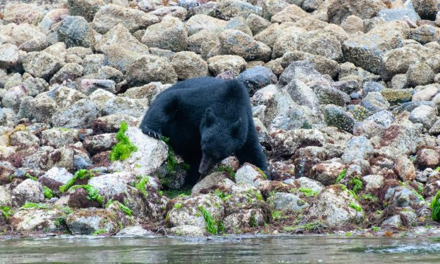 Watch Black Bears Eat Breakfast By Kayak